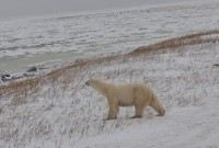 Featured News: Park's ISAMR Scientists Travel to Churchill, Manitoba, for Annual Fall Research Trip