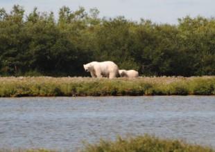 Photo: Polar bear with cub. Photo by J. Gorman.